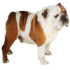 FOR SALE / ADOPTION: English Bulldog For Sale In Chennai